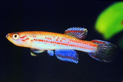 Aphyosemion wuendschi