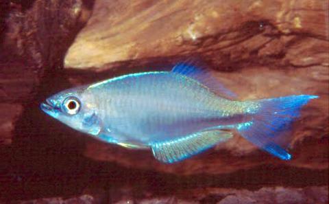 Plataplochilus loemensis
